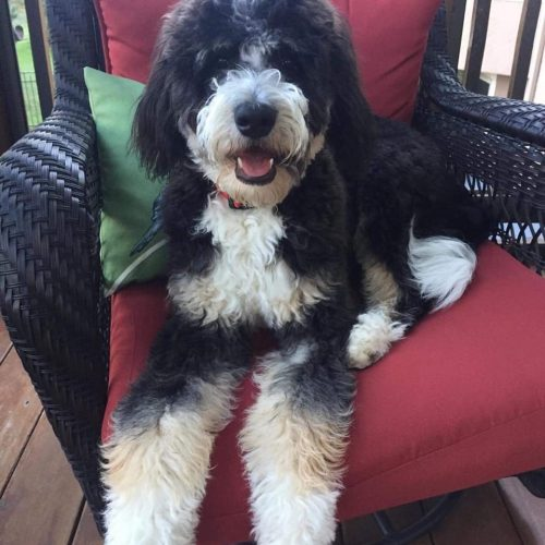 One of our larger Bernedoodle males sitting on a chair!