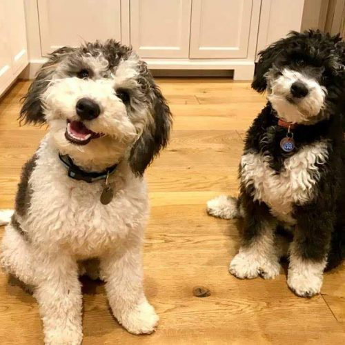 Bernedoodles have excellent temperments! These F1 Bernedoodle puppies are happy, obedient, and loyal.