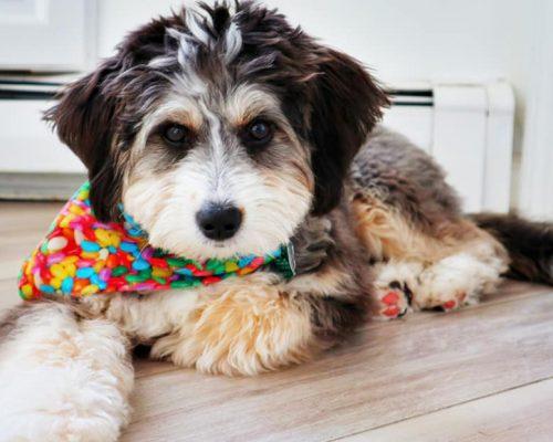 A handsome tri-color Bernedoodle puppy