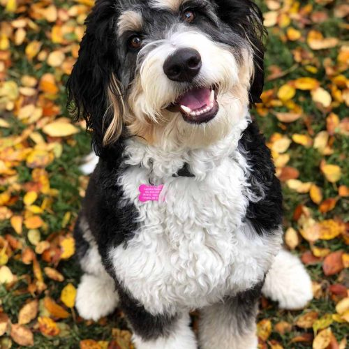 A happy Bernedoodle puppy! This F1b Bernedoodle went to a family in New York