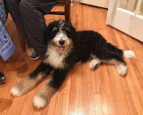 Bernedoodle laying at the feet of her family