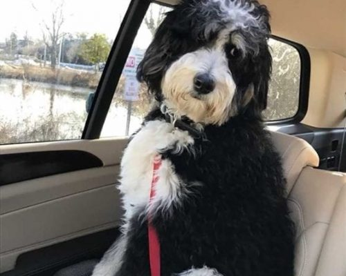 This Bernedoodle is nervous! Riding in a car with his family in Virginia. Don't worry, he's buckled in :)